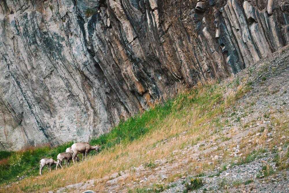 Bighorn Sheep Jasper Rocky Mountains Canada, Wildlife