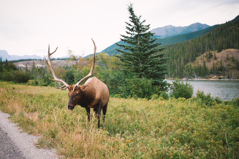 Elk Jasper Alberta Canada
