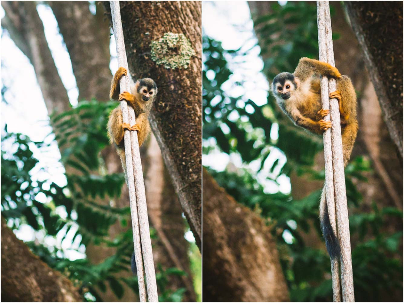 Titi Monkeys in Manuel Antonio Costa Rica