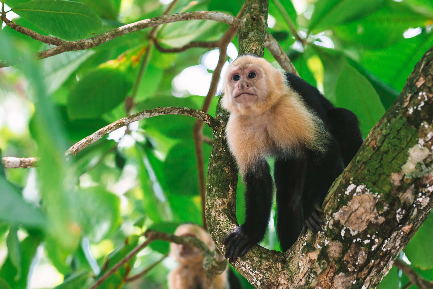 White Faced Monkeys in Manuel Antonio National Park