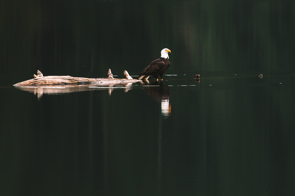 Eagle Reflection Vancouver Island Travel Photography