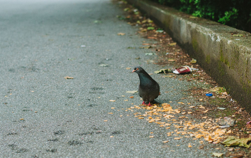 Pigeon Eating Doritos Downtown Vancouver BC
