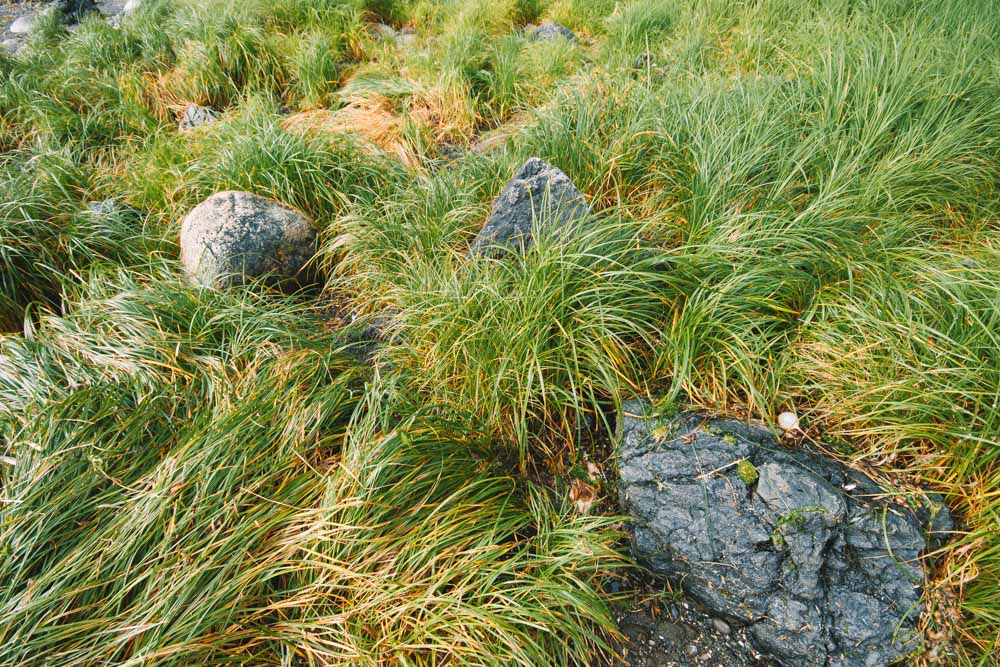 Beach Grass in Ucluelet Vancouver Island