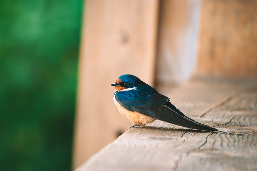 Swallow Bird in Tofino Vancouver Island