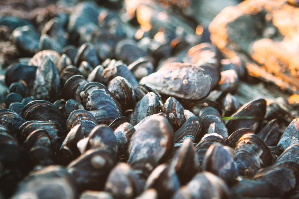 Mussels at Port Renfrew British Columbia