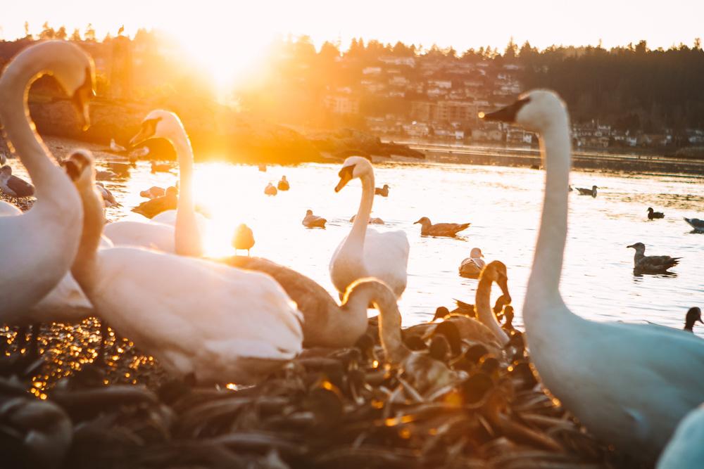 Swans Victoria British Columbia
