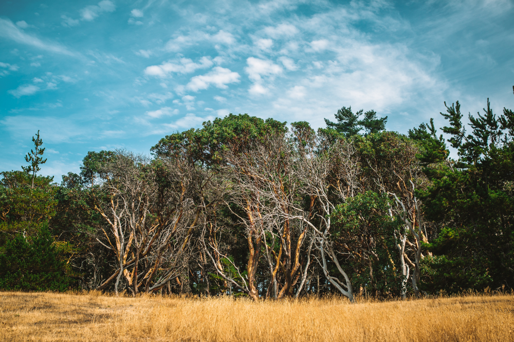 Arbutus Trees in Helliwell Provincial Park Hornby Island British Columbia Travel Photography