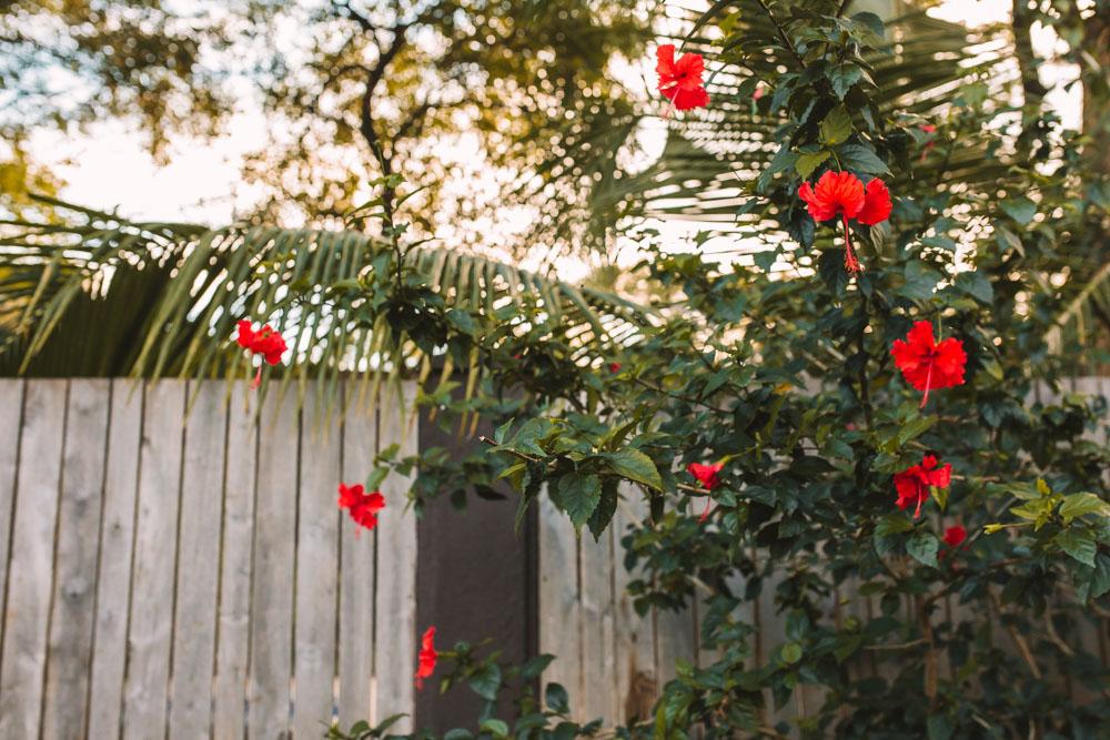 Hibiscus Flowers in Tamarindo
