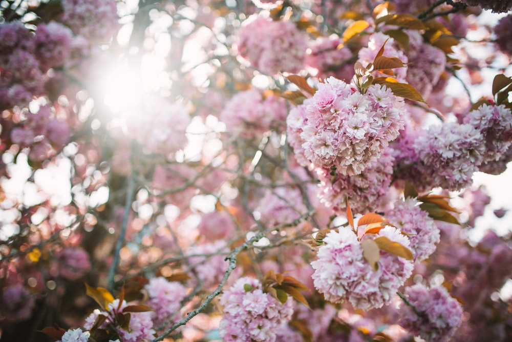 victoria british columbia landscape cherry blossoms photography